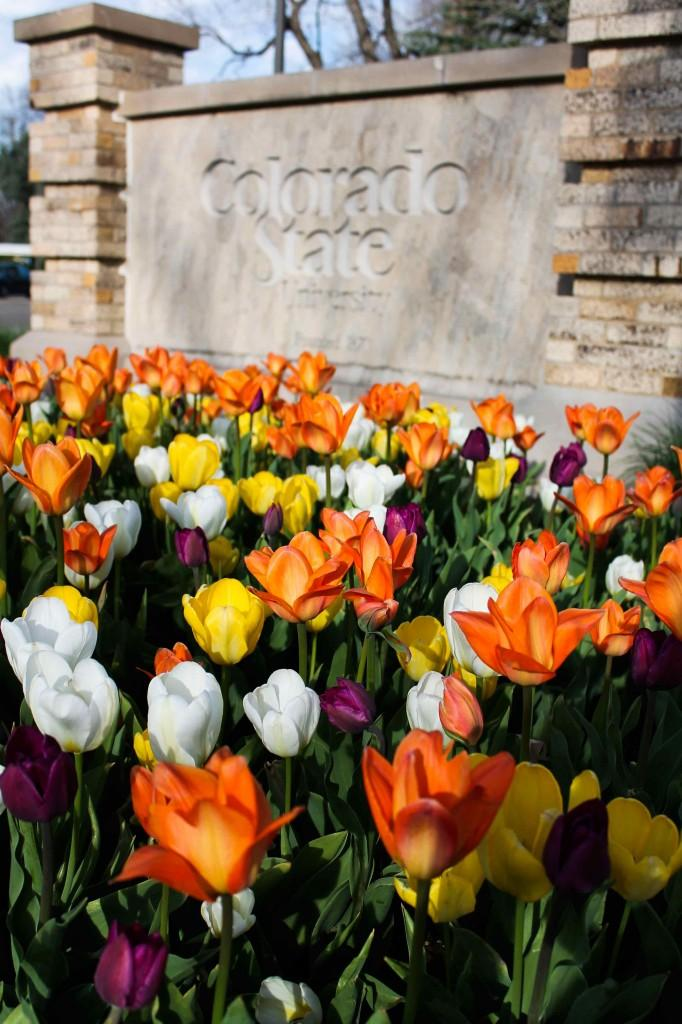 Tulips in front of a CSU sign