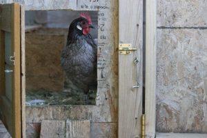 Mildred the black chicken