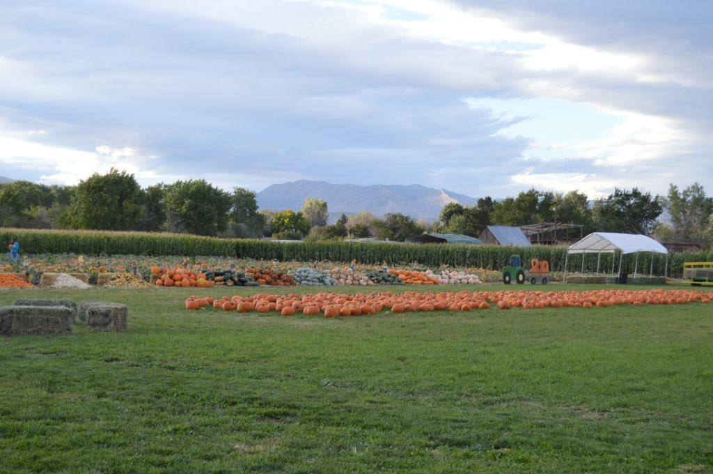 field of picked pumpkins