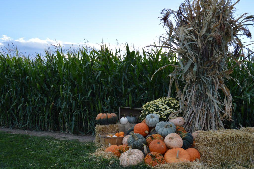 pile of pumpkins outside corn maze