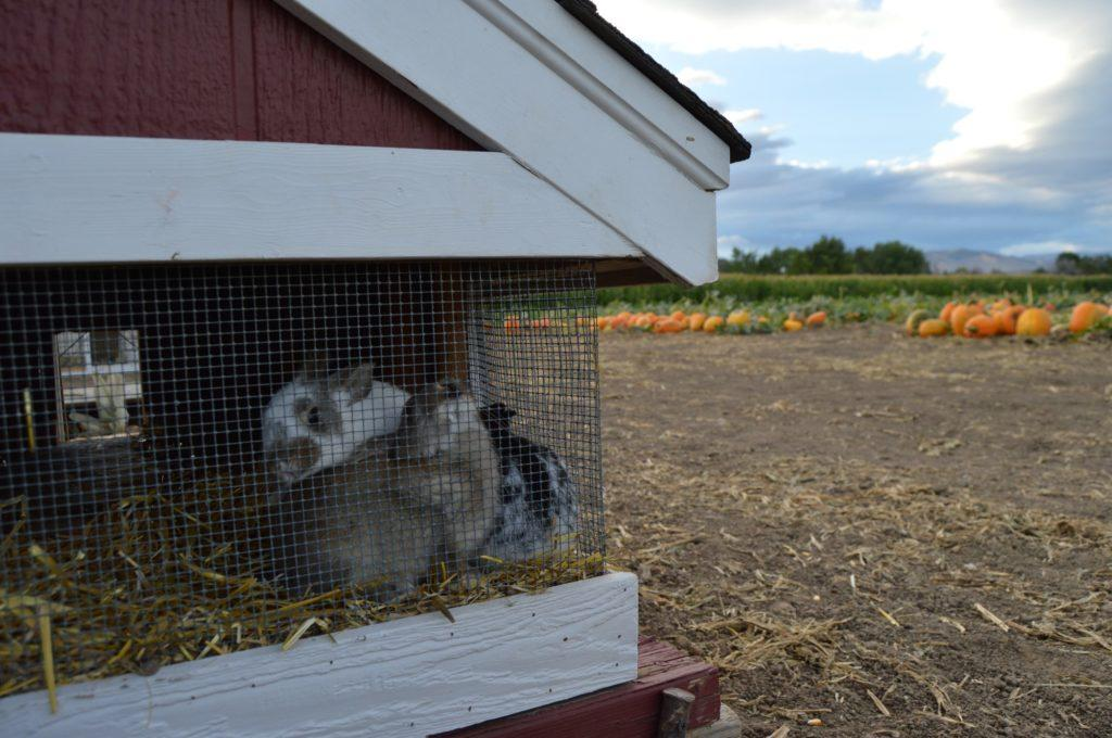 bunnies in a barn cage