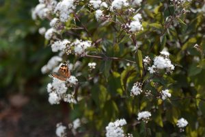 Painted Lady butterflies stopping by a garden bush for an afternoon nectar snack. Photo credit: Mackenzie Boltz