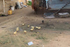 A flock of chicks